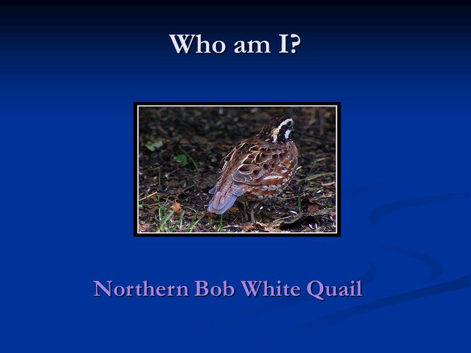 Who am I Northern Bob White Quail