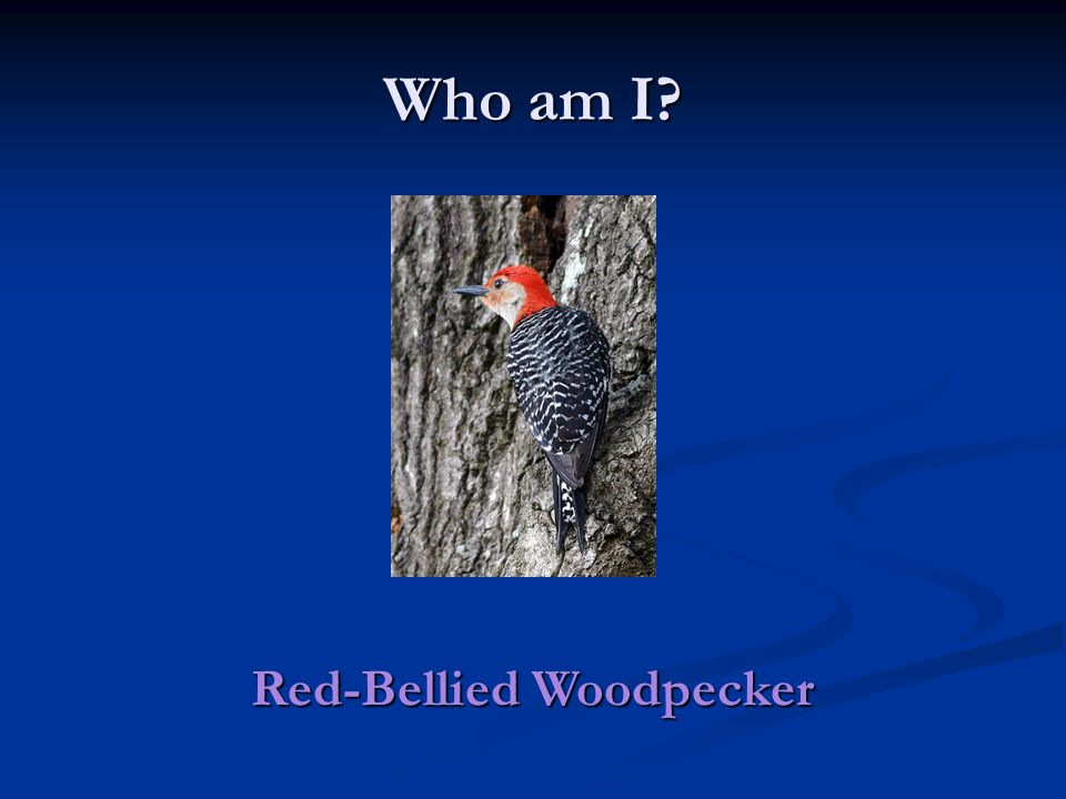 Who am I Red-Bellied Woodpecker