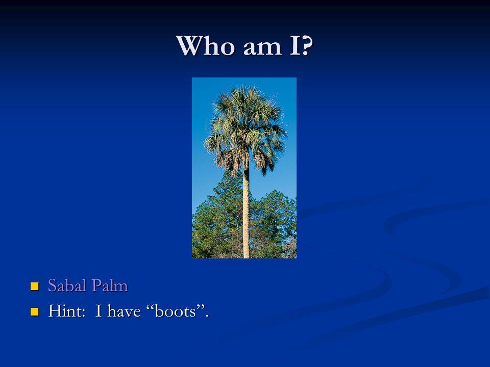 Who am I Sabal Palm Sabal Palm Hint: I have boots . Hint: I have boots .
