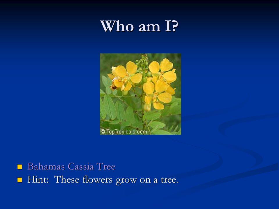 Who am I. Bahamas Cassia Tree Bahamas Cassia Tree Hint: These flowers grow on a tree.