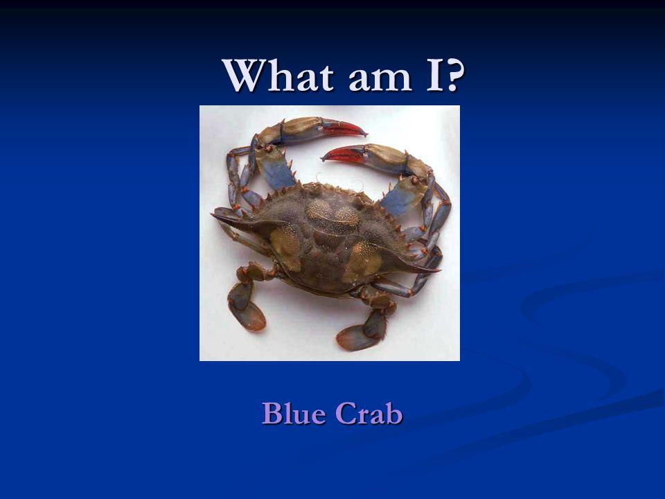 Blue Crab What am I