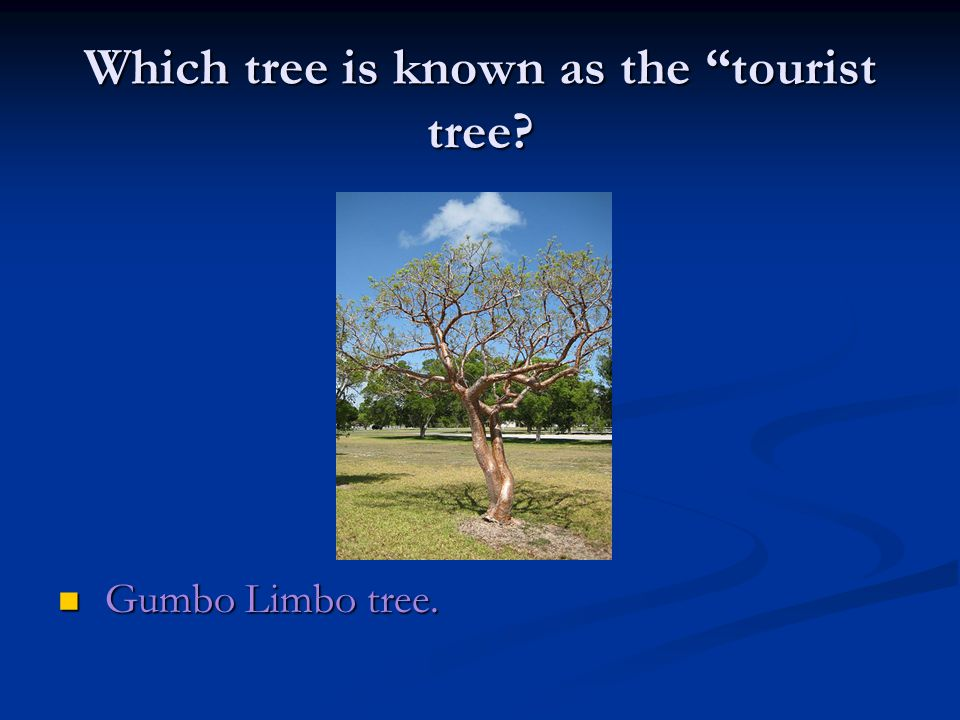Which tree is known as the tourist tree Gumbo Limbo tree. Gumbo Limbo tree.