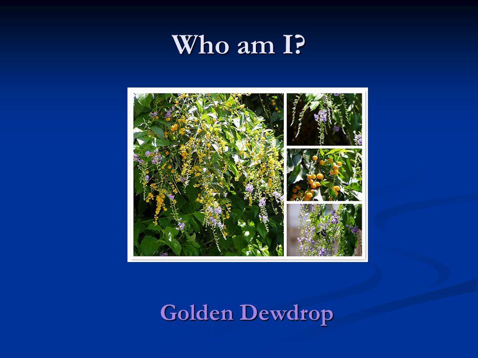 Who am I Golden Dewdrop
