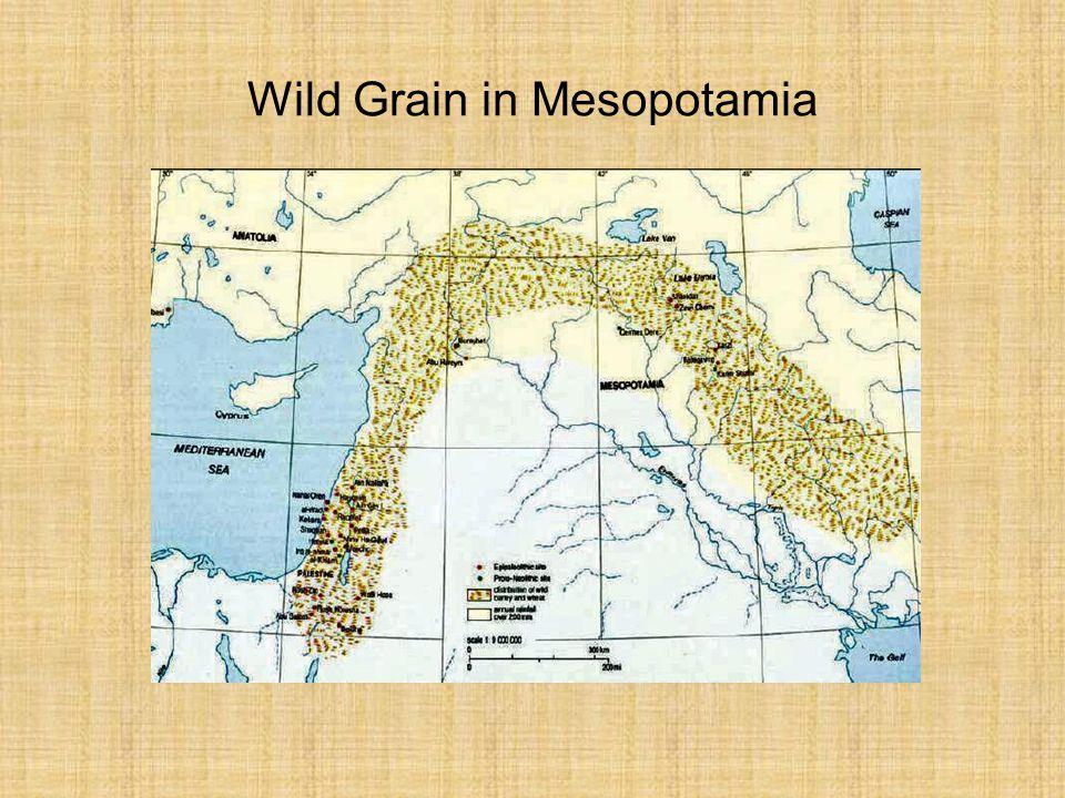 Wild Grain in Mesopotamia