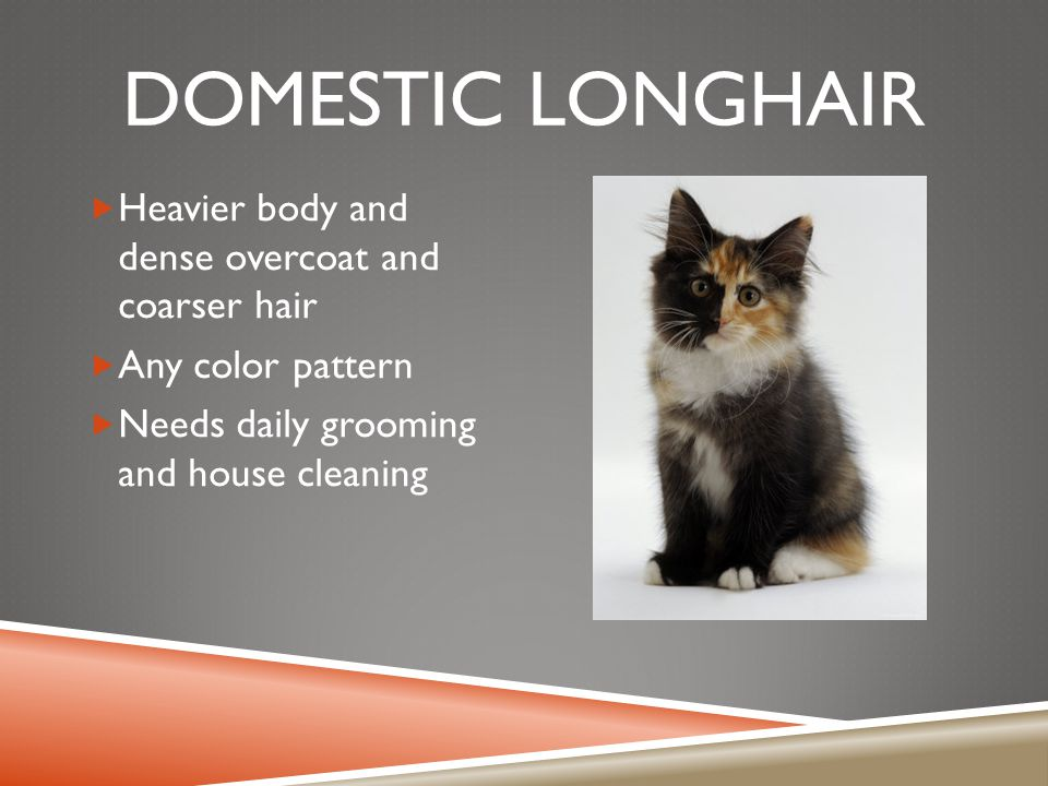 DOMESTIC LONGHAIR  Heavier body and dense overcoat and coarser hair  Any color pattern  Needs daily grooming and house cleaning