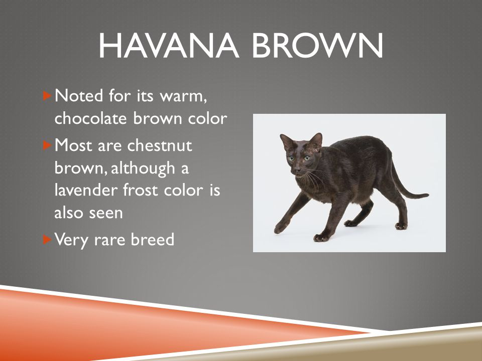 HAVANA BROWN  Noted for its warm, chocolate brown color  Most are chestnut brown, although a lavender frost color is also seen  Very rare breed