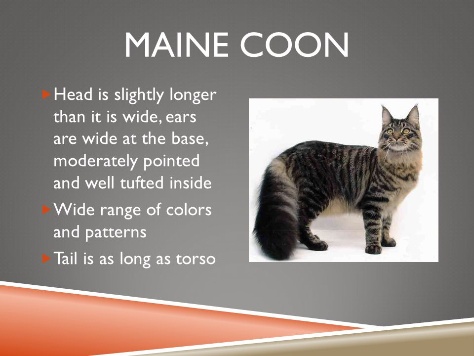 MAINE COON  Head is slightly longer than it is wide, ears are wide at the base, moderately pointed and well tufted inside  Wide range of colors and patterns  Tail is as long as torso