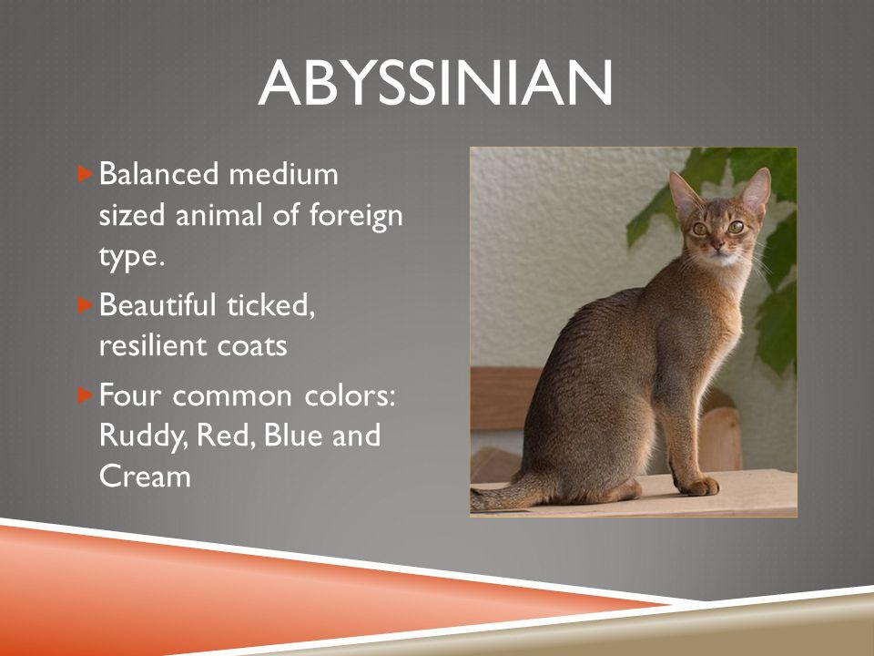 ABYSSINIAN  Balanced medium sized animal of foreign type.