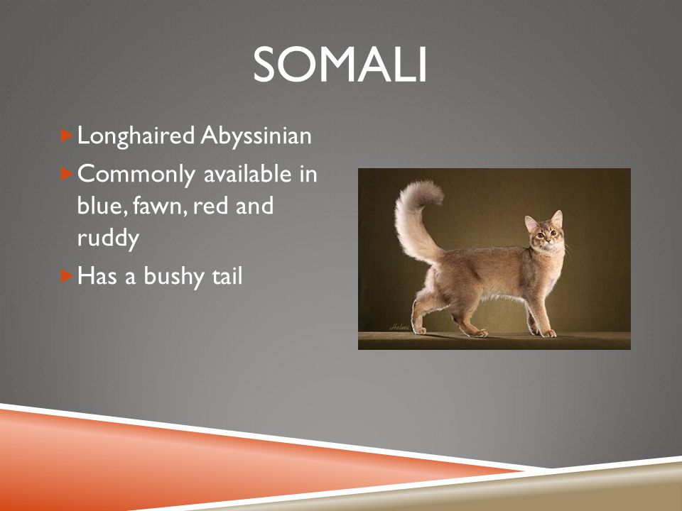SOMALI  Longhaired Abyssinian  Commonly available in blue, fawn, red and ruddy  Has a bushy tail