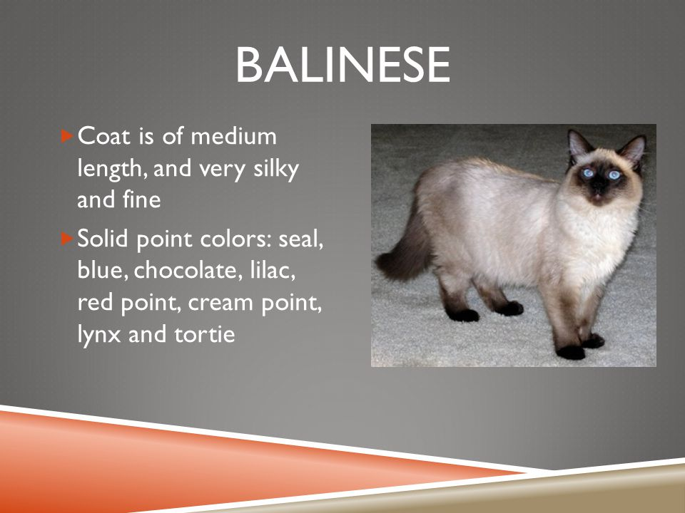 BALINESE  Coat is of medium length, and very silky and fine  Solid point colors: seal, blue, chocolate, lilac, red point, cream point, lynx and tort