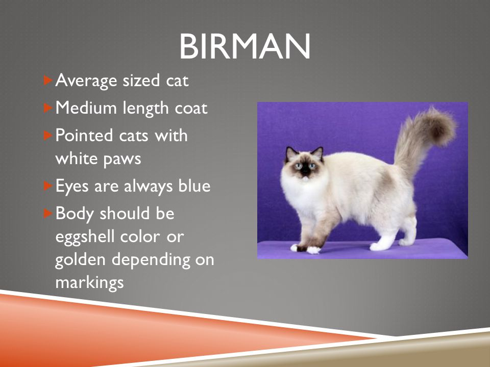 BIRMAN  Average sized cat  Medium length coat  Pointed cats with white paws  Eyes are always blue  Body should be eggshell color or golden depending on markings