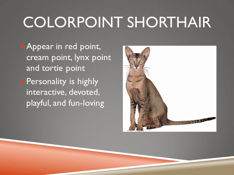 COLORPOINT SHORTHAIR  Appear in red point, cream point, lynx point and tortie point  Personality is highly interactive, devoted, playful, and fun-loving