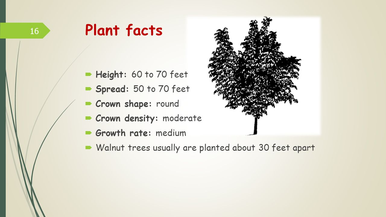 Plant facts  Height: 60 to 70 feet  Spread: 50 to 70 feet  Crown shape: round  Crown density: moderate  Growth rate: medium  Walnut trees usually are planted about 30 feet apart 16