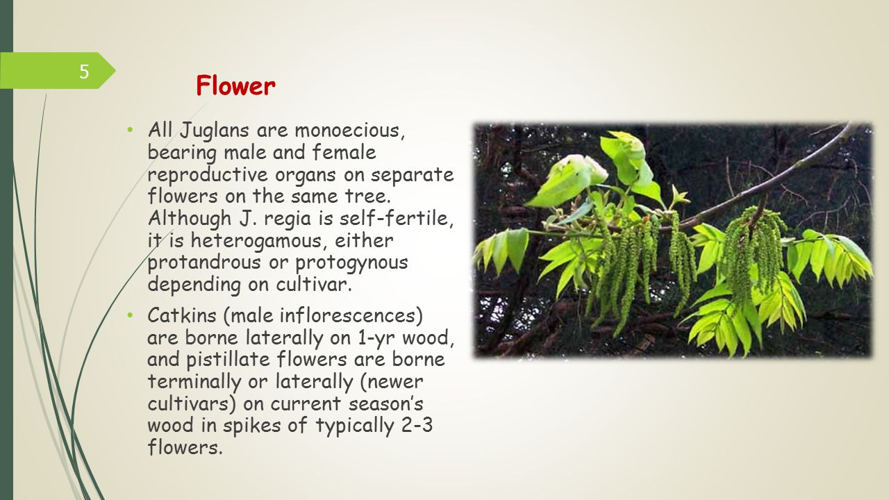 Flower All Juglans are monoecious, bearing male and female reproductive organs on separate flowers on the same tree.