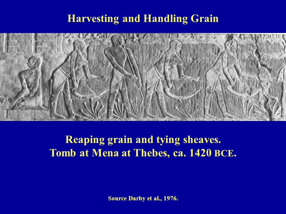 Reaping grain and tying sheaves.Tomb at Mena at Thebes, ca.