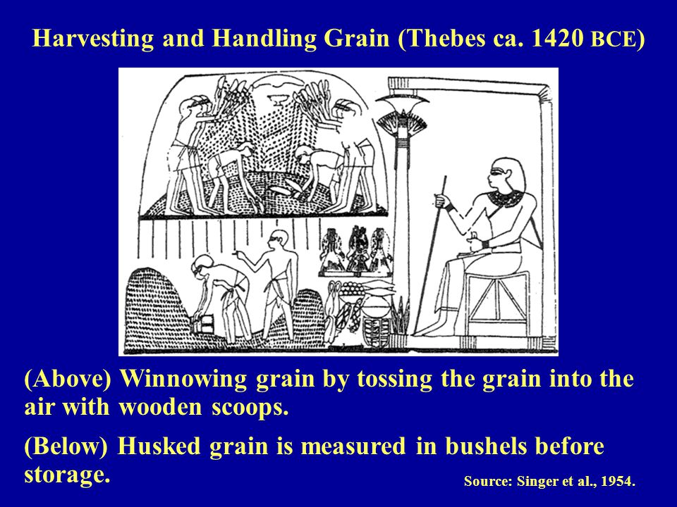 (Above) Winnowing grain by tossing the grain into the air with wooden scoops.