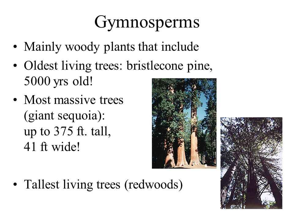 Gymnosperms Mainly woody plants that include Oldest living trees: bristlecone pine, 5000 yrs old! Most massive trees (giant sequoia): up to 375 ft. ta