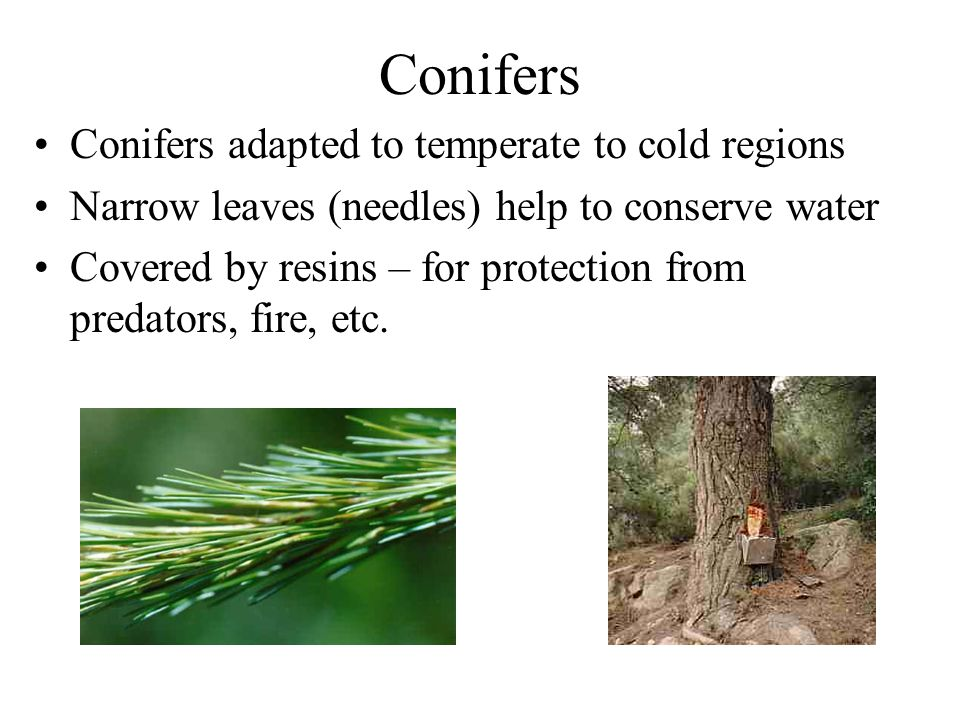 Conifers Conifers adapted to temperate to cold regions Narrow leaves (needles) help to conserve water Covered by resins – for protection from predator
