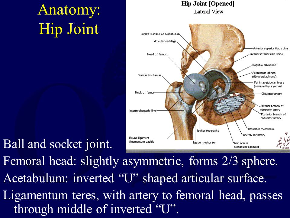 "Anatomy: Hip Joint Ball and socket joint. Femoral head: slightly asymmetric, forms 2/3 sphere. Acetabulum: inverted ""U"" shaped articular surface. Liga"