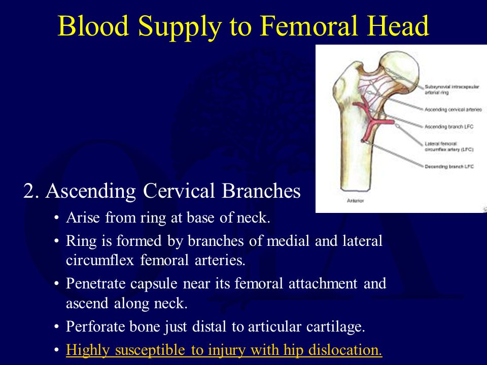 Blood Supply to Femoral Head 2. Ascending Cervical Branches Arise from ring at base of neck. Ring is formed by branches of medial and lateral circumfl
