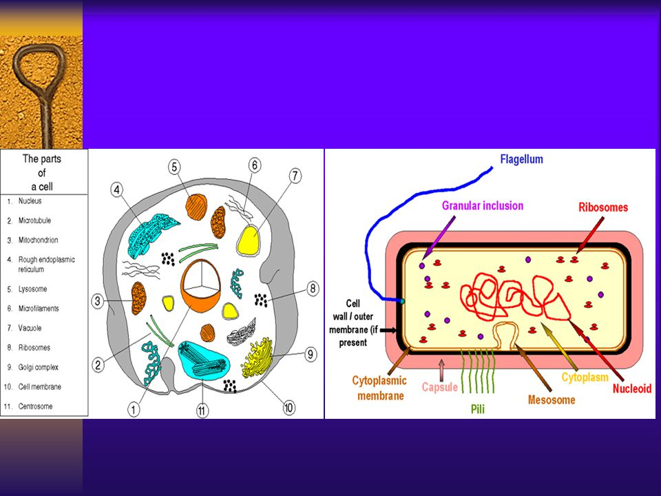 History of Microbiology  Experience phase 经验时期  Experimental phase 实验时期  Modern phase 现代微生物学时期
