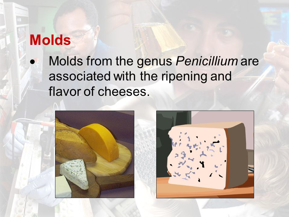 Molds  Molds from the genus Penicillium are associated with the ripening and flavor of cheeses.