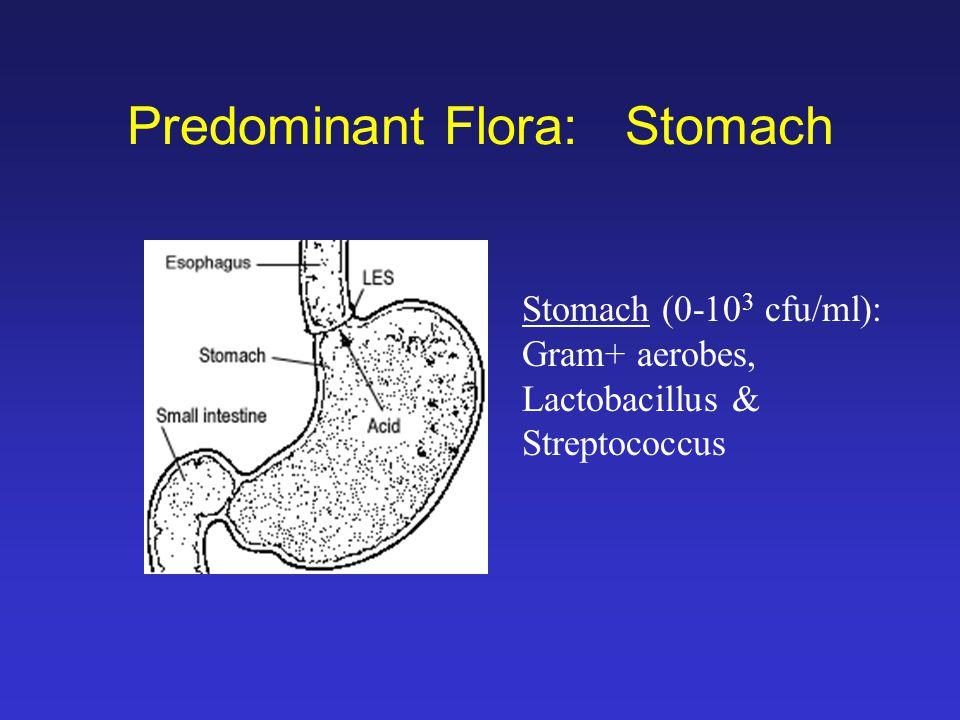 Predominant Flora: Stomach Stomach (0-10 3 cfu/ml): Gram+ aerobes, Lactobacillus & Streptococcus