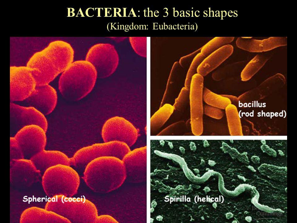 BACTERIA: the 3 basic shapes (Kingdom: Eubacteria)