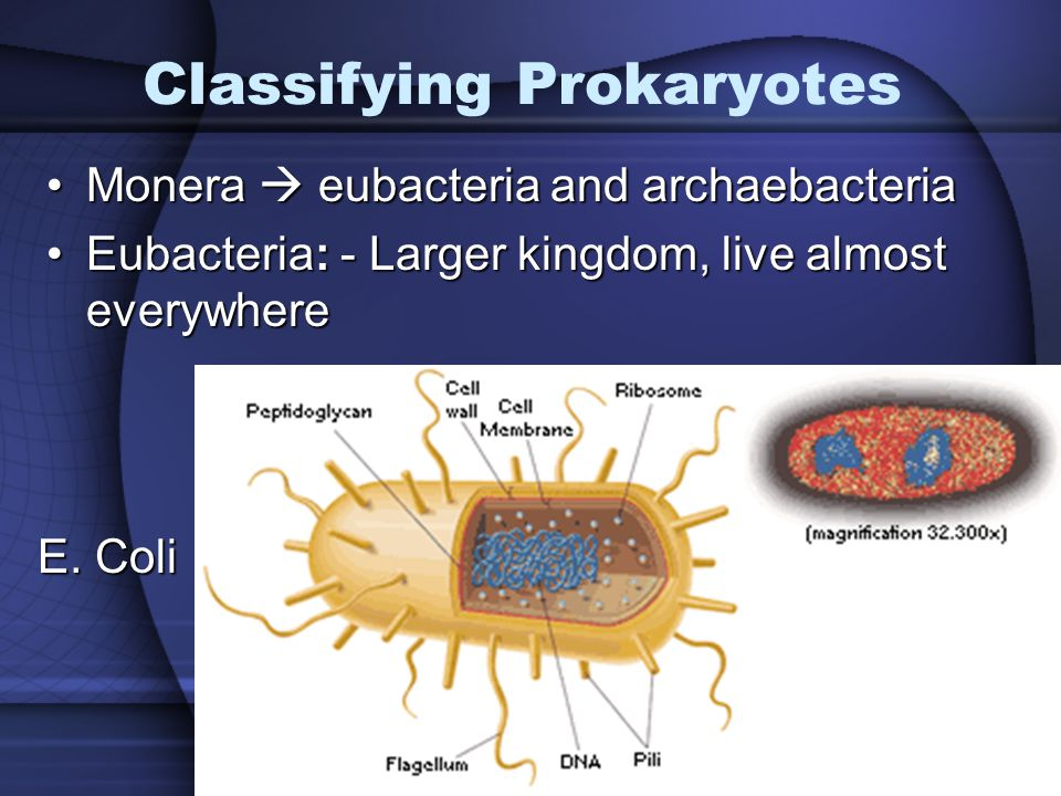 3 Classifying Prokaryotes Monera  eubacteria and archaebacteriaMonera  eubacteria and archaebacteria Eubacteria: - Larger kingdom, live almost everywhereEubacteria: - Larger kingdom, live almost everywhere E.