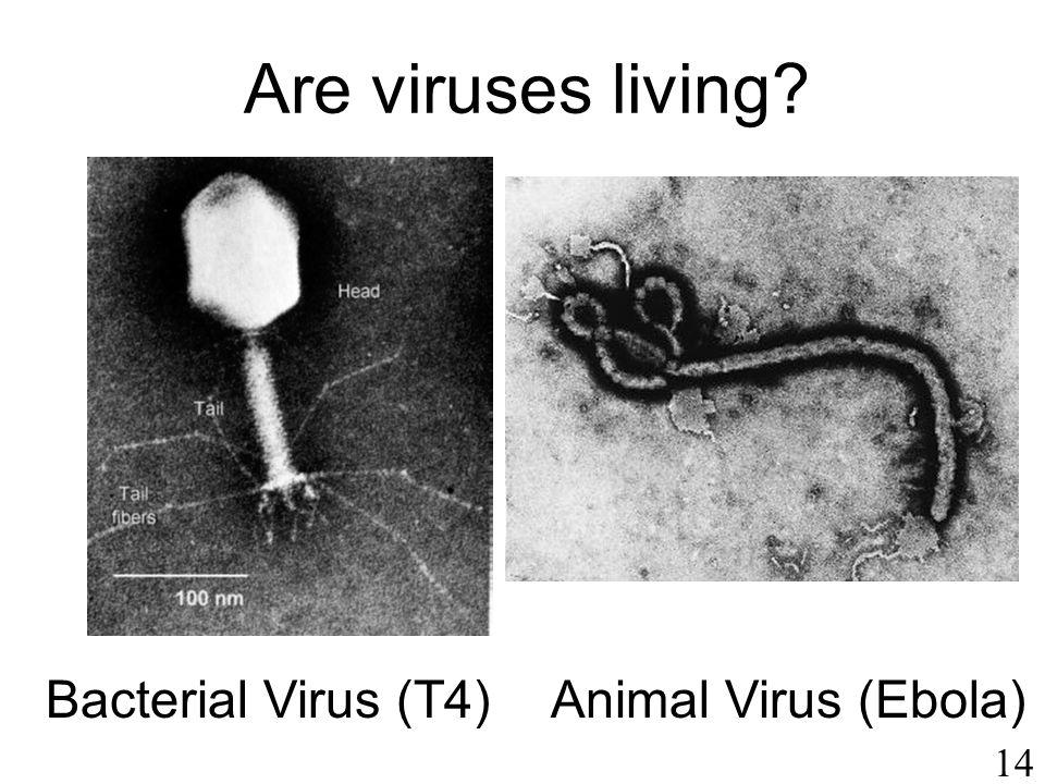 14 Bacterial Virus (T4)Animal Virus (Ebola) Are viruses living?