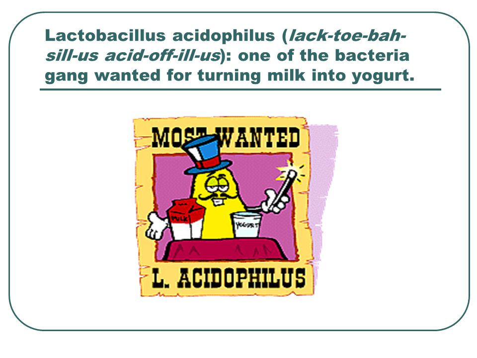 Lactobacillus acidophilus (lack-toe-bah- sill-us acid-off-ill-us): one of the bacteria gang wanted for turning milk into yogurt.