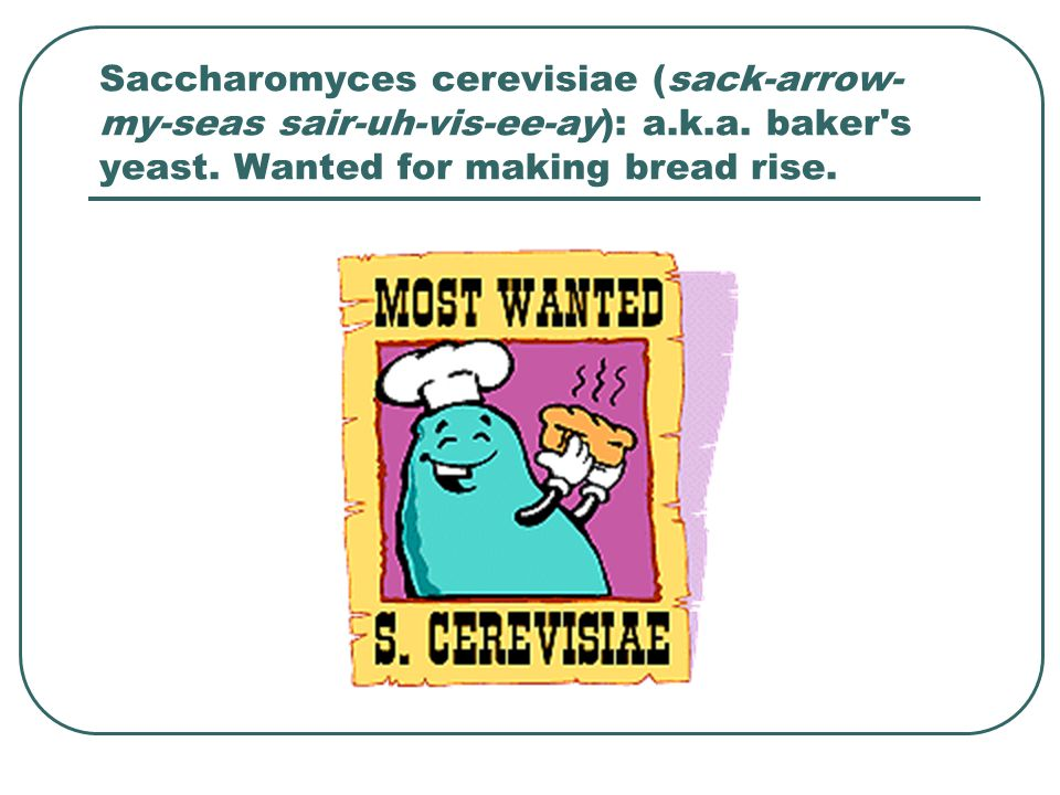 Saccharomyces cerevisiae (sack-arrow- my-seas sair-uh-vis-ee-ay): a.k.a. baker's yeast. Wanted for making bread rise.