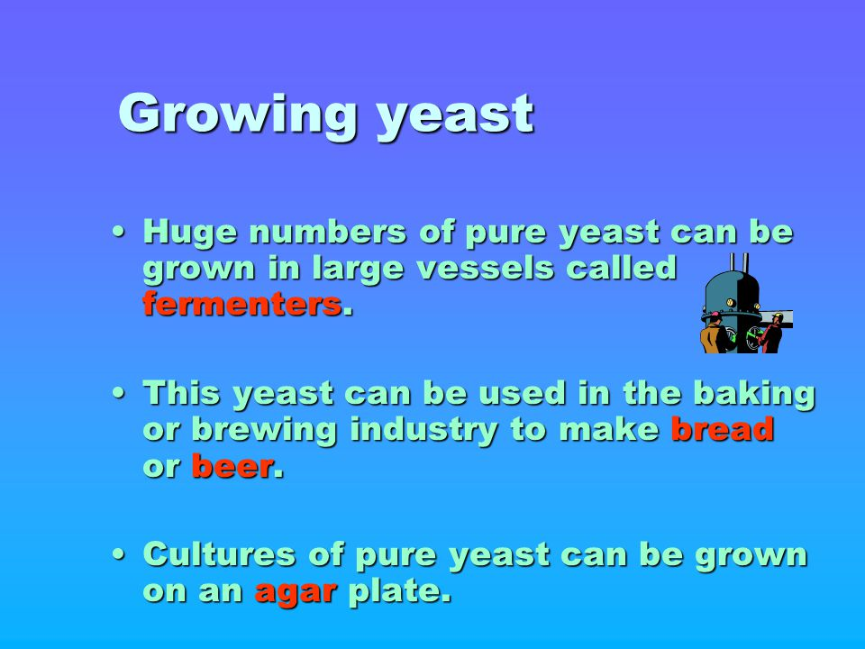 Growing yeast Huge numbers of pure yeast can be grown in large vessels called fermenters.Huge numbers of pure yeast can be grown in large vessels call