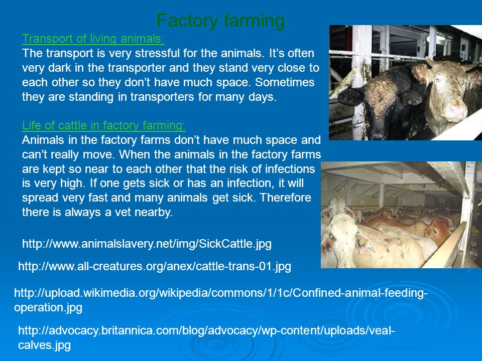 Transport of living animals: The transport is very stressful for the animals.