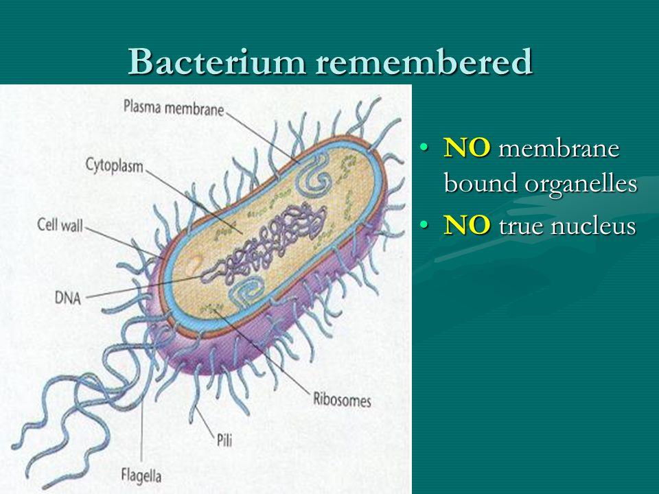 Bacterium remembered NO membrane bound organellesNO membrane bound organelles NO true nucleusNO true nucleus
