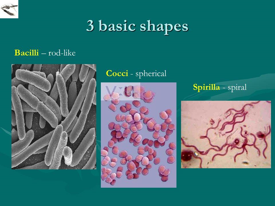 3 basic shapes Cocci - spherical Bacilli – rod-like Spirilla - spiral