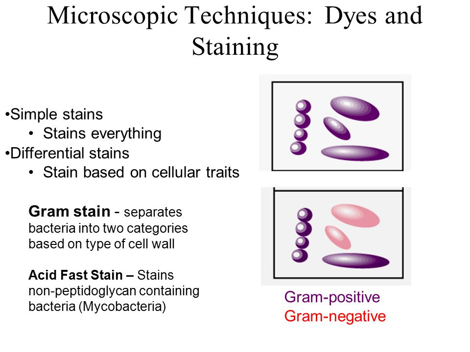 Microscopic Techniques: Dyes and Staining Simple stains Stains everything Differential stains Stain based on cellular traits Gram stain - separates bacteria into two categories based on type of cell wall Acid Fast Stain – Stains non-peptidoglycan containing bacteria (Mycobacteria) Gram-positive Gram-negative