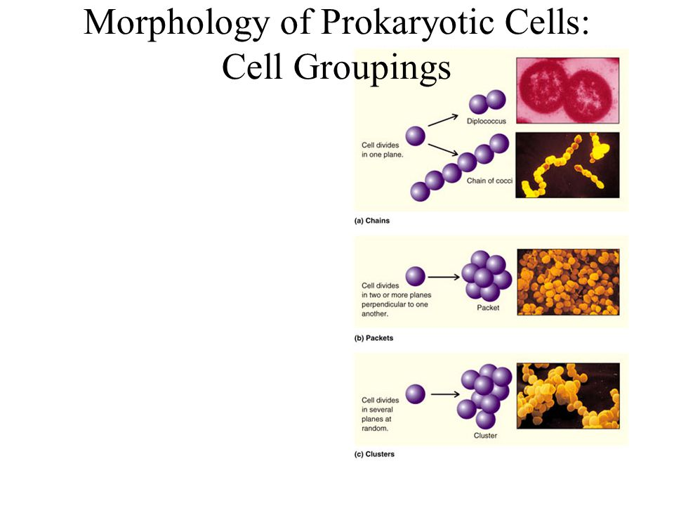 Morphology of Prokaryotic Cells: Cell Groupings