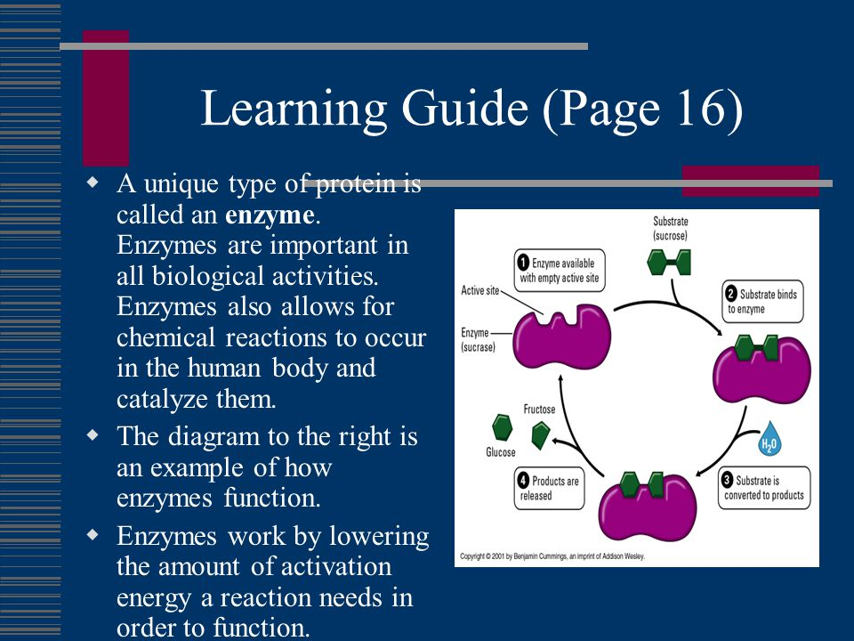 Learning Guide (Page 16)  A unique type of protein is called an enzyme.