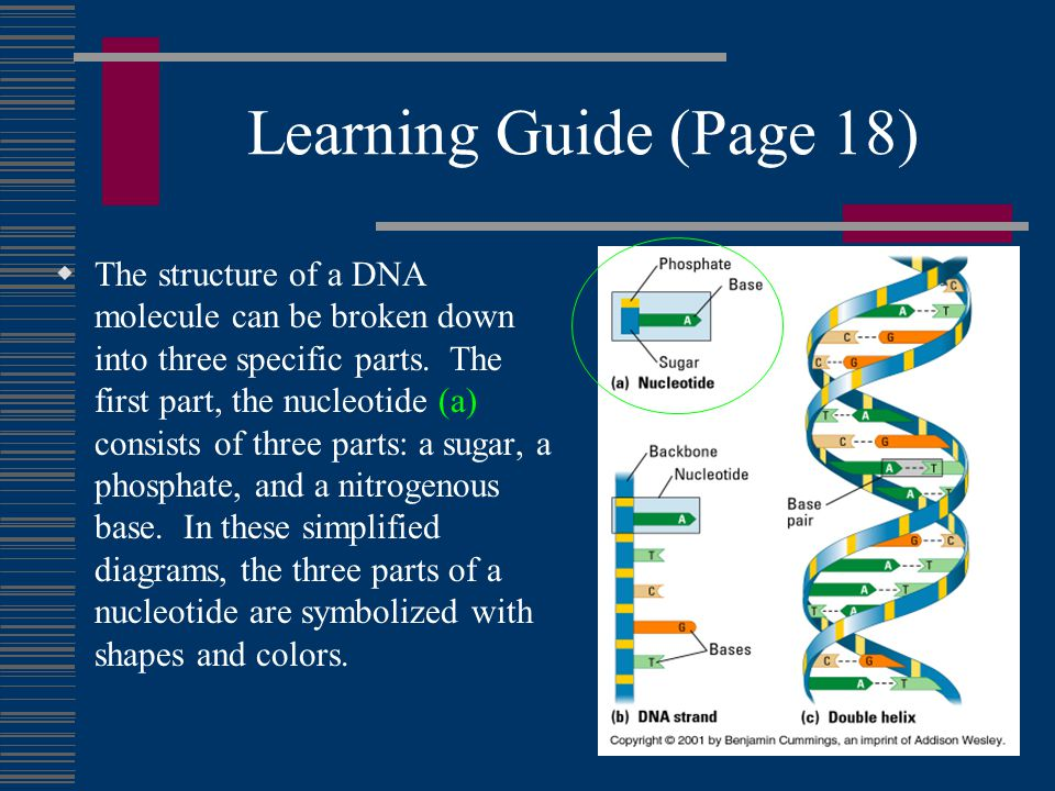 Learning Guide (Page 18)  The structure of a DNA molecule can be broken down into three specific parts.