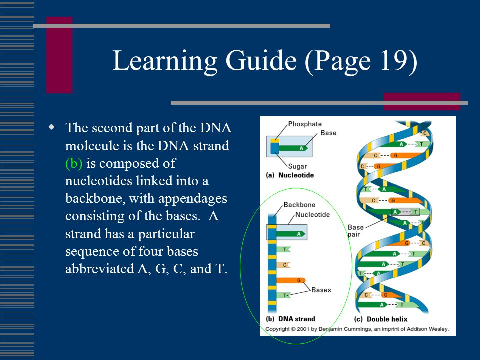 Learning Guide (Page 19)  The second part of the DNA molecule is the DNA strand (b) is composed of nucleotides linked into a backbone, with appendages consisting of the bases.