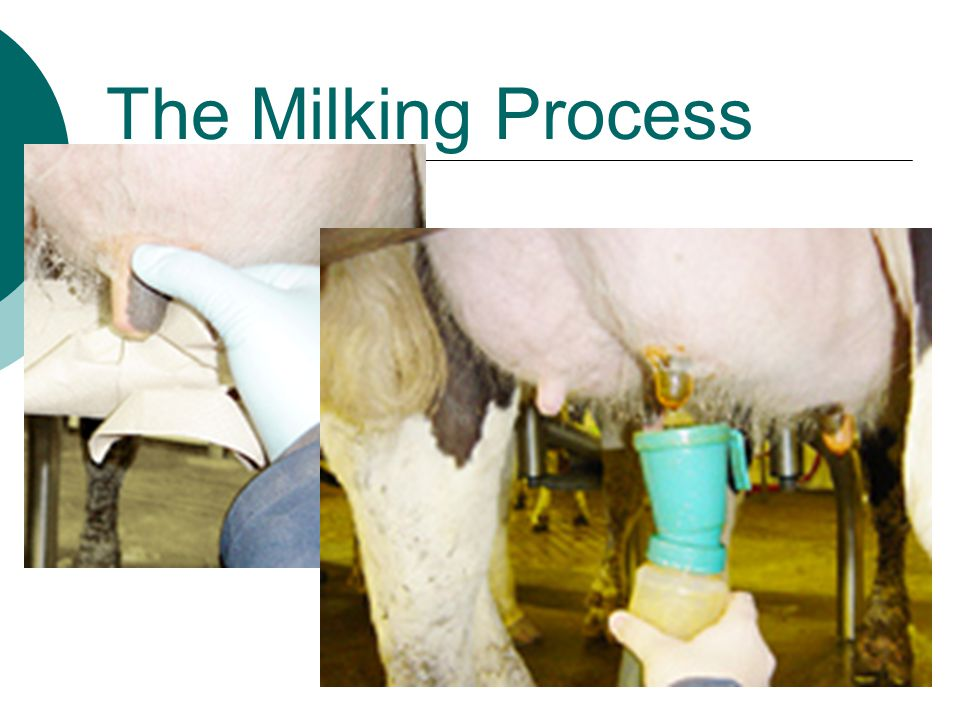 The Milking Process