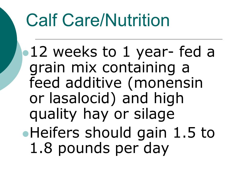 Calf Care/Nutrition 12 weeks to 1 year- fed a grain mix containing a feed additive (monensin or lasalocid) and high quality hay or silage Heifers should gain 1.5 to 1.8 pounds per day