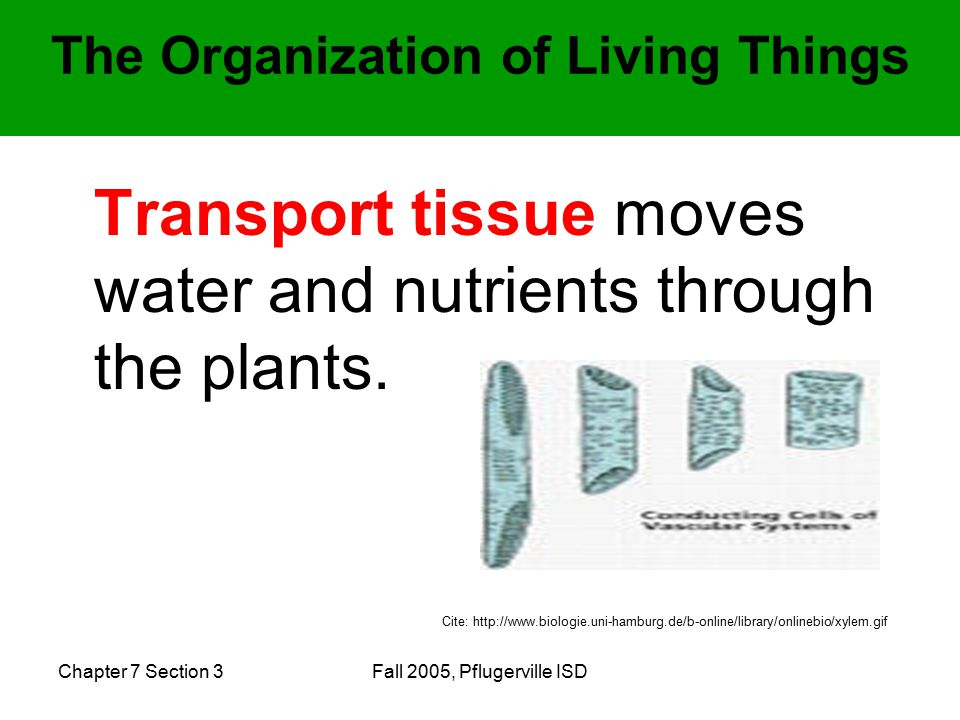 Chapter 7 Section 3Fall 2005, Pflugerville ISD Transport tissue moves water and nutrients through the plants.