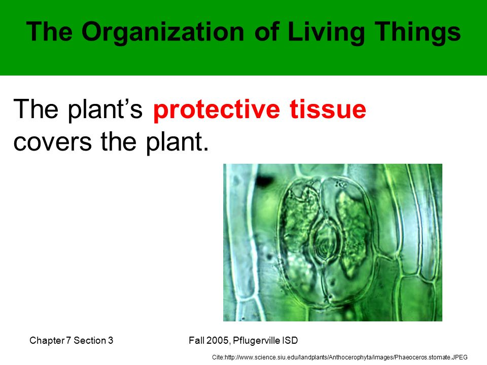 Chapter 7 Section 3Fall 2005, Pflugerville ISD The plant's protective tissue covers the plant.