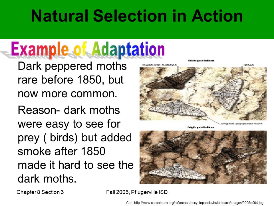 Chapter 8 Section 3Fall 2005, Pflugerville ISD Natural Selection in Action Dark peppered moths rare before 1850, but now more common.