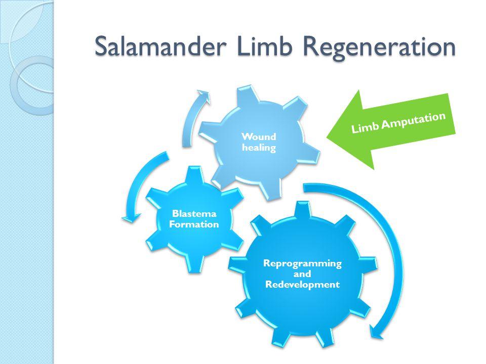 Salamander Limb Regeneration Reprogramming and Redevelopment Blastema Formation Wound healing Limb Amputation