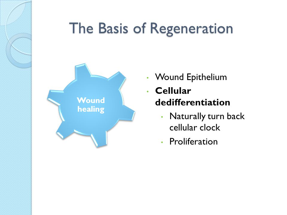 Wound Epithelium Cellular dedifferentiation Naturally turn back cellular clock Proliferation The Basis of Regeneration Wound healing