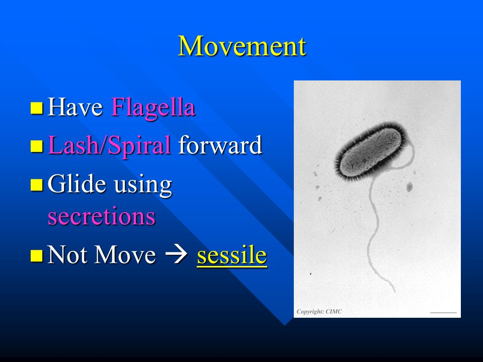 Movement Have Flagella Have Flagella Lash/Spiral forward Lash/Spiral forward Glide using secretions Glide using secretions Not Move  sessile Not Move  sessile