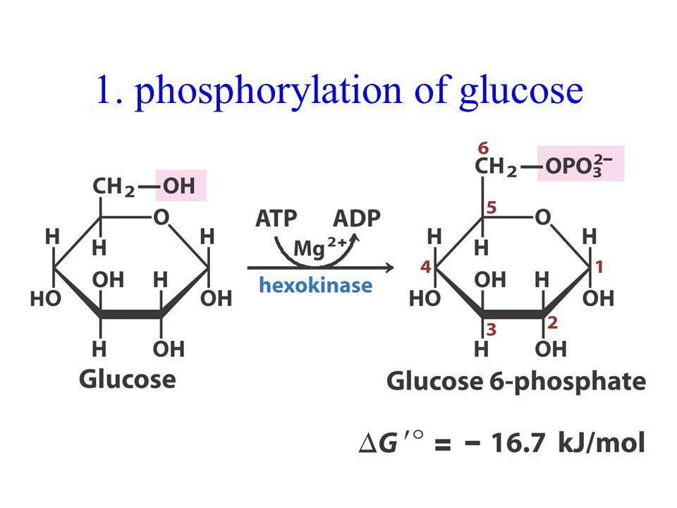 1. phosphorylation of glucose